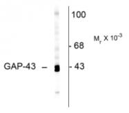 AP26435SU-N - GAP43