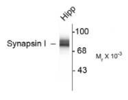 AP26436PU-N - Synapsin-1