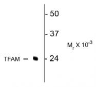 AP26439SU-N - TFAM / TCF6