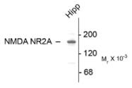 AP26445PU-N - NMDA Receptor 2A