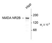 AP26446PU-N - NMDAR2B