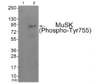 AP26453PU-N - MUSK