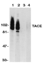 AP30854PU-N - CD156b / ADAM17