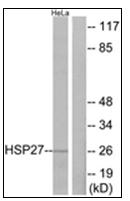 AP31876PU-N - HSPB1 / HSP27