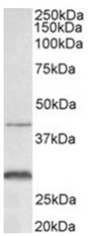 AP31960PU-N - CD182 / IL8RB
