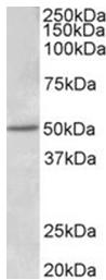 AP32006PU-N - Estrogen receptor beta