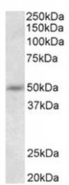 AP32012PU-N - Synaptotagmin-9