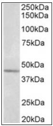 AP32013PU-N - Synaptotagmin-5
