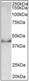 AP32017PU-N - Doublecortin