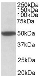 AP32020PU-N - Muscarinic acetylcholine receptor M2