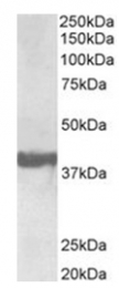 AP32034PU-N - Endophilin-A1
