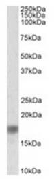 AP32036PU-N - Alpha-Synuclein / SNCA