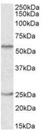 AP32061PU-N - POU2F2 / OCT2