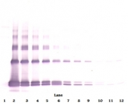 AP32086BT-N - Interleukin-33 (IL33)