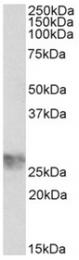 AP32146PU-N - CD242 / ICAM4