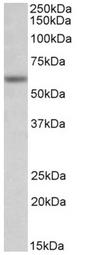 AP32151PU-N - Glycine receptor alpha-1