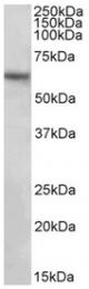 AP32155PU-N - SLC1A3 / EAAT1