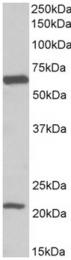 AP32158PU-N - SLC1A3 / EAAT1