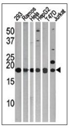 AP32196PU-N - MAP1LC3C