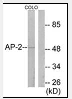 AP32228PU-N - TFAP2A / AP2 alpha/beta