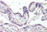 AP32234PU-N - GLUT1 / SLC2A1