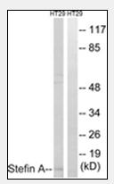 AP32243PU-N - Cystatin-A