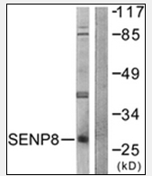 AP32244PU-N - SENP8