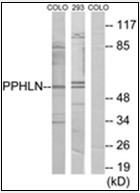 AP32272PU-N - Periphilin 1