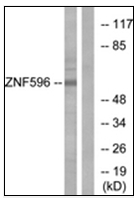 AP32273PU-N - ZNF596