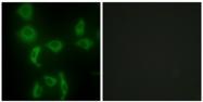 AP32279PU-N - Isoleucyl-tRNA synthetase / IARS2