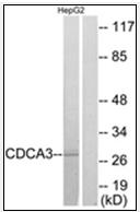 AP32284PU-N - CDCA3