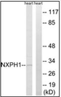 AP32310PU-N - Neurexophilin-1