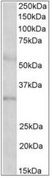 AP32344PU-N - IGFBP1
