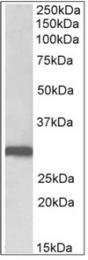 AP32348PU-N - Stomatin / STOM
