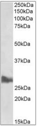 AP32350PU-N - Apolipoprotein A I / APO AI