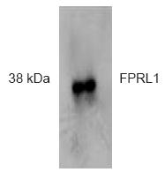 AP32357PU-N - FPR2 / FPRL1