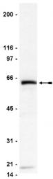 AP32403PU-N - CD261 / TRAILR1