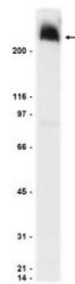 AP32451PU-N - SCN1A