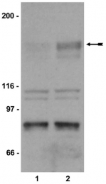 AP32581PU-N - CD309 / VEGFR-2 / Flk-1