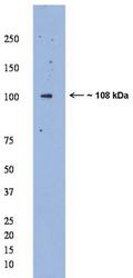 AP32648SU-N - Mastermind-Like Protein 1