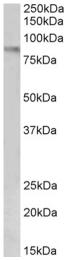 AP32710PU-N - CD106 / VCAM1