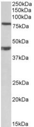 AP32734PU-N - Dishevelled-1 / DVL1