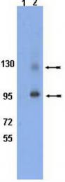 AP32767SU-N - CD29 / Integrin beta-1