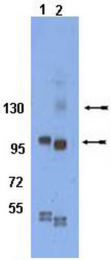 AP32768SU-N - CD29 / Integrin beta-1