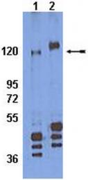 AP32769SU-N - CD29 / Integrin beta-1