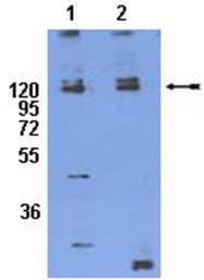 AP32770SU-N - CD29 / Integrin beta-1