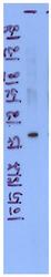 AP32789PU-N - CALY / DRD1IP