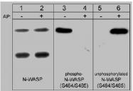 AP32826PU-N - WASL / N-WASP