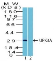 AP32831PU-T - Uroplakin-3a (UPK3A)