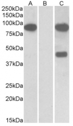 AP32925PU-N - Numb-like protein / NUMBL
